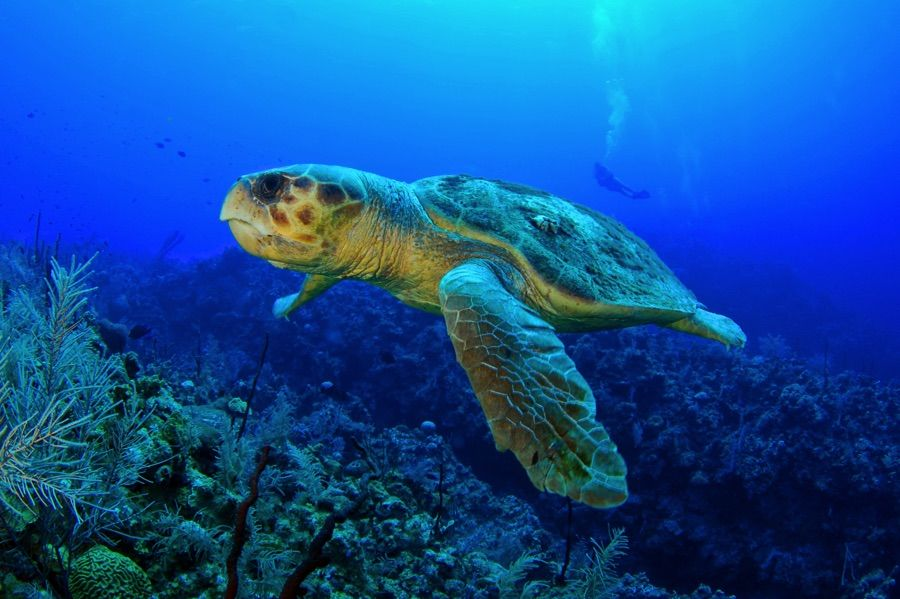 Tortue caouanne Zakynthos Coral Diver